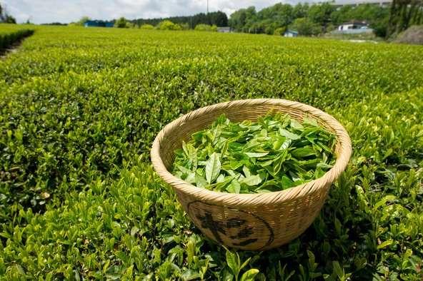 Поставка чая из Вьетнама - более 50 видов