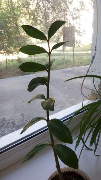 Продам комнатное растение долларовое дерево