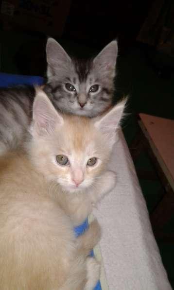 Продам котят породы Мейн-кун. БЕСПОДОБНЫЕ!!!