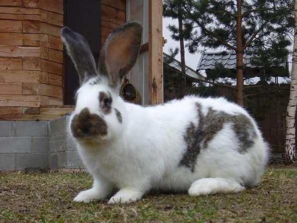 Кролики крупных мясных пород