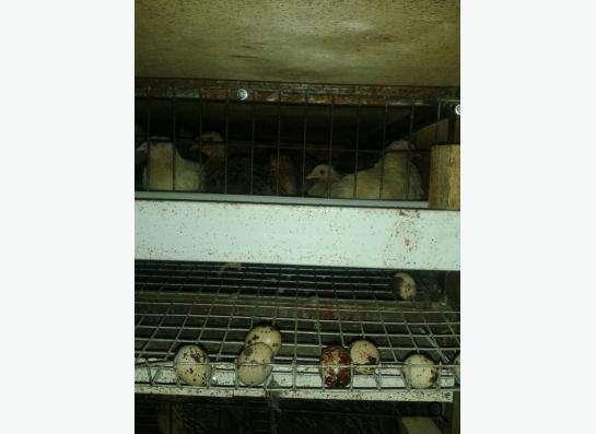 Продам перепелов Японской яйценоской породы в Новосибирске фото 5