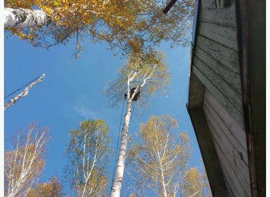 Спил, снос, удаление аварийных деревьев в Новосибирске фото 6