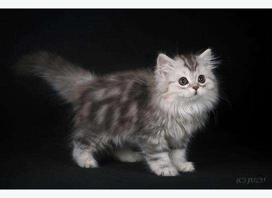 Плюшевые Шотландские котята !!! в Краснодаре