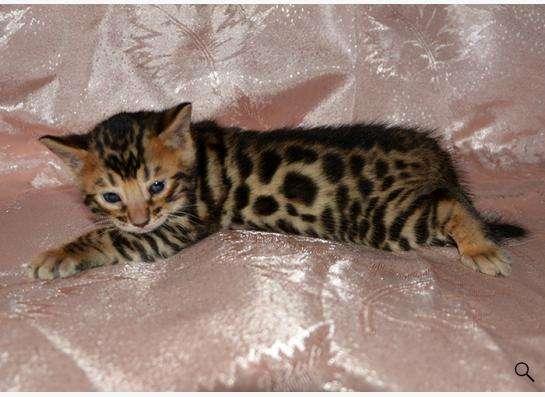 Бенгальские котята в Ногинске