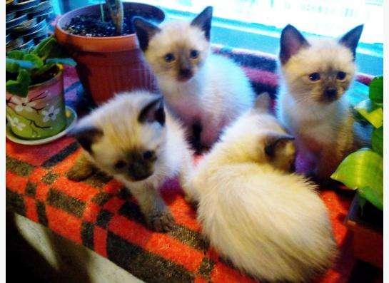 чистокровные тайские котята в Санкт-Петербурге фото 5
