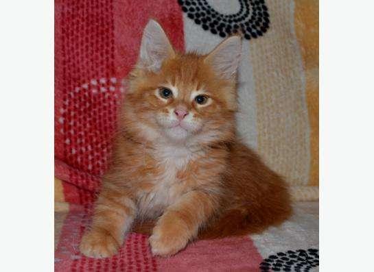 Породистые котята в Кисловодске фото 9