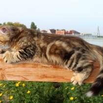 Золотистый котенок (мрамор), в Новосибирске