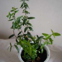 Мирт,молодое растение, в г.Москва