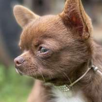 Chihuahua puppy, в г.Boiling Springs