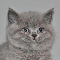 Британские голубые котята, в Санкт-Петербурге