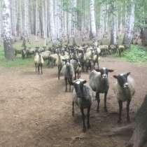 Овцы, в Екатеринбурге