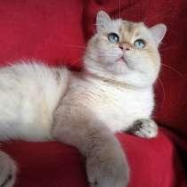 Кот золотой колор пойнт, вязка, в Казани