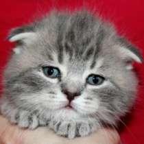 Вислоухий котенок - девочка, в Санкт-Петербурге