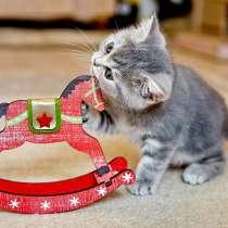 Шотландские котята носители шоколада, в Калуге