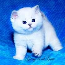 Британская шиншилла котята с голубыми глазами, в Москве