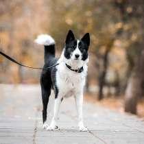 Красавец Маффин, молодой пес, метис лайки в добрые руки, в г.Москва