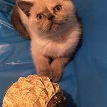 Британский котёнок, в г.Нью Сити