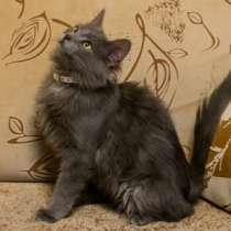 Отдам даром Сильвер, фенотип нибелунга, чудесный кот, в г.Москва