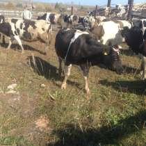 Коровы дойные черно-пестрые, в Магнитогорске
