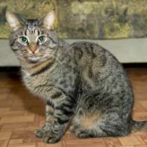 Отдам даром Макс, великолепный молодой полосатый кот, в г.Москва