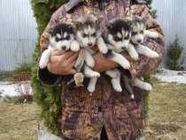 щенки хаски, в Белгороде