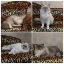 Кот и кошка породы Рэгдолл (кошка-кукла), в Ревде