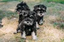 Превосходные щенки цвергшнауцера, в г.Киев