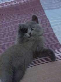 Британские плюшевые котята, в г.Феодосия
