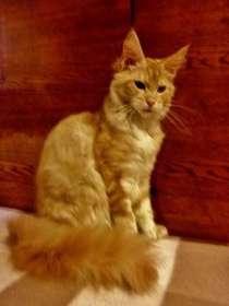 Продаются котята мейн куна яркого окраса, в Новосибирске