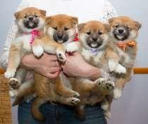 Фотосессия с щенками Сиба, в Сыктывкаре