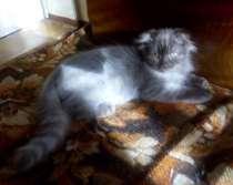очень интересный серебряный котенок, в Краснодаре