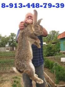 Кролики бельгийский фландр Саяногорск, в Абакане