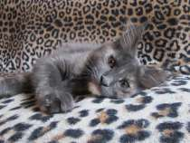 Котята мейн-кун, в Уфе