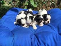 Готовы к резервированию щенки бивер йоркширские терьеры, в Екатеринбурге