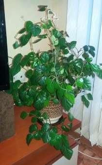 Комнатное растение Циссус или Берёзка, в Санкт-Петербурге