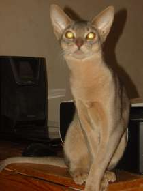 Продаются абиссинские котята, в Воронеже