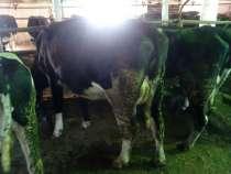 Дойные коровы черно-пестрой породы голштинизированные, в Магнитогорске