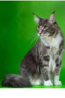 Котята Мейн куны Совершенство!, в Новосибирске