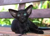Ориентальные котята, белого, черного и пятнистого окраса, в г.Самара