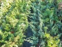 Саженцы хвойных растений: туи, можжевельники, ели, тсуга, в Твери