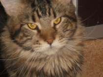 Кот породы Мейн Кун от титулованных родителей приглашает на, в Воронеже