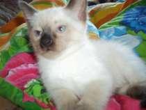 Тайские котята, в Мурманске