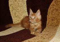 Кошечка мейн-кун, ня!, в Новосибирске