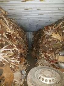 Приём рога марал изюбрь лося олень, в Перми