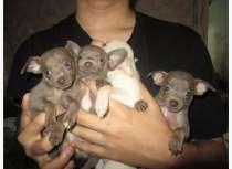 Продаются щенки той-терьера, в Челябинске