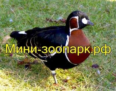 Казарки в Москве Фото 2