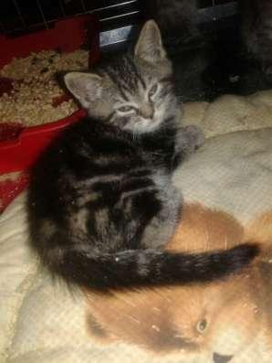 Отдам породистых котят в Ярославле Фото 3