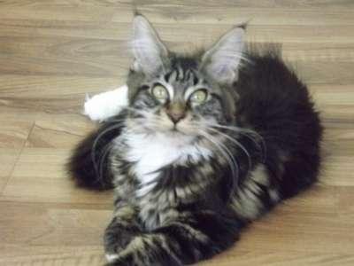 Котята мейн-кун в Новочеркасске Фото 3