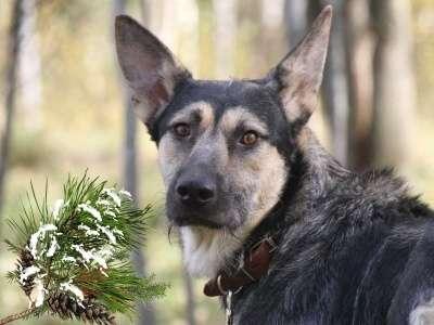 Отдам даром Даня метис овчарки идеальный пес