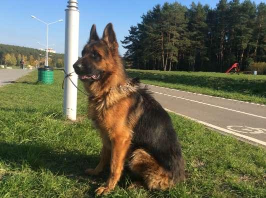 Немецкая овчарка красивые щенки. Привиты